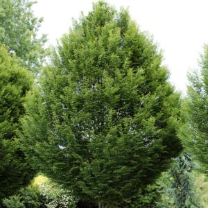 Граб обыкновенный «Fastigiata» - Carpinus betulus «Fastigiata»