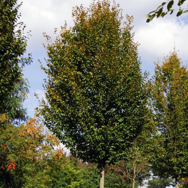 Граб обыкновенный «Frans Fontaine» - Carpinus betulus «Frans Fontaine»