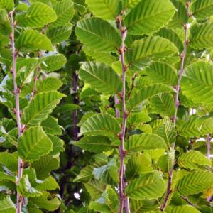 Граб обыкновенный «Lucas» - Carpinus betulus «Lucas»