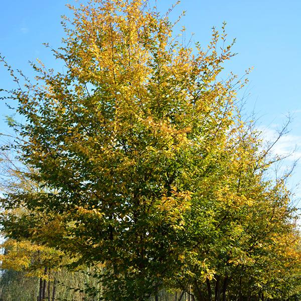Граб обыкновенный - Carpinus betulus