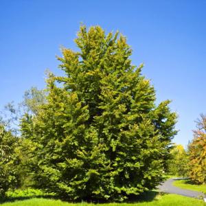Бук лесной - Fagus sylvatica