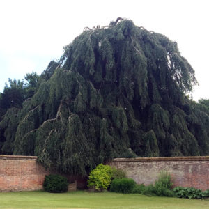 Бук лесной «Pendula» - Fagus sylvatica «Pendula»