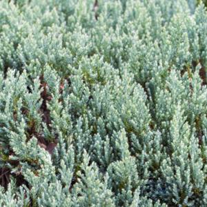 Можжевельник горизонтальный «Grey Pearl» - Juniperus horizontalis «Grey Pearl»