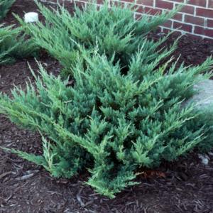 Можжевельник горизонтальный «Hughes» - Juniperus horizontalis «Hughes»