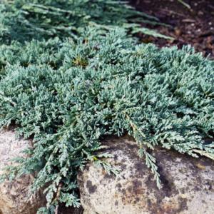 Можжевельник горизонтальный «Icee Blue» - Juniperus horizontalis «Icee Blue»