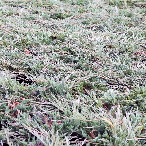 Можжевельник горизонтальный «Jade River» - Juniperus horizontalis «Jade River»