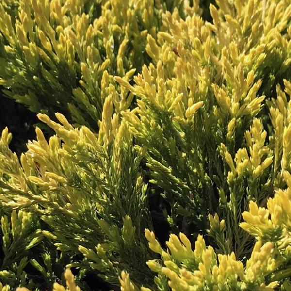 Можжевельник горизонтальный «Lime Glow» - Juniperus horizontalis «Lime Glow»