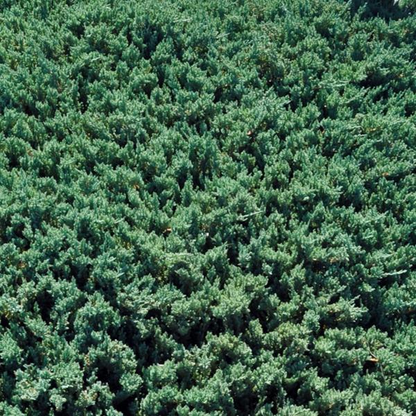 Можжевельник горизонтальный «Prostrata» - Juniperus horizontalis «Prostrata»