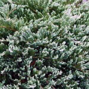 Можжевельник горизонтальный «Turquoise Spreader» - Juniperus horizontalis «Turquoise Spreader»