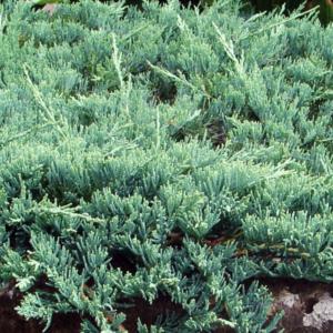 Можжевельник горизонтальный «Wiltonii» - Juniperus horizontalis «Wiltonii»