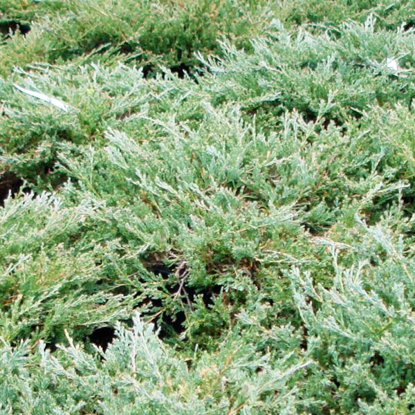 Можжевельник горизонтальный «Yukon Belle» - Juniperus horizontalis «Yukon Belle»