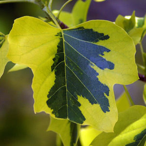 Лириодендрон тюльпановый «Aureomarginatum» - Liriodendron tulipifera «Aureomarginatum»