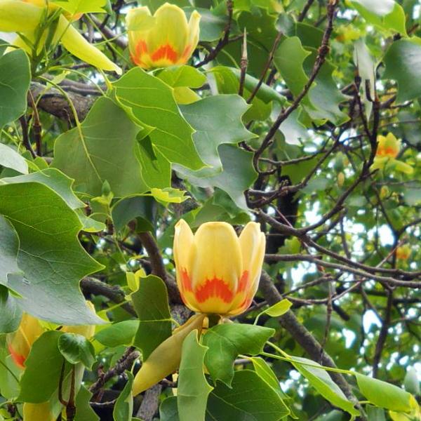 Лириодендрон тюльпановый - Liriodendron tulipifera