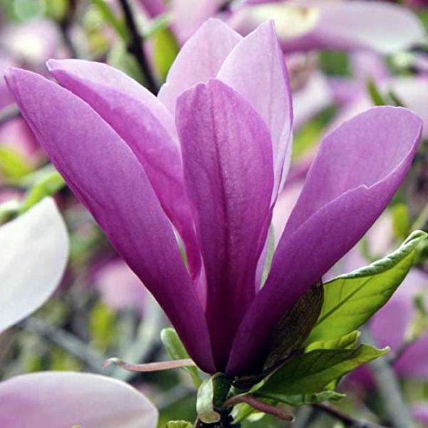Магнолия гибридная «Heaven Scent» - Magnolia «Heaven Scent»