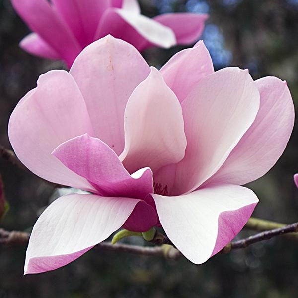 Магнолия гибридная «Ricki» - Magnolia «Ricki»