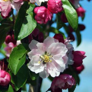 Яблоня декоративная «Van Eseltine» - Malus «Van Eseltine»