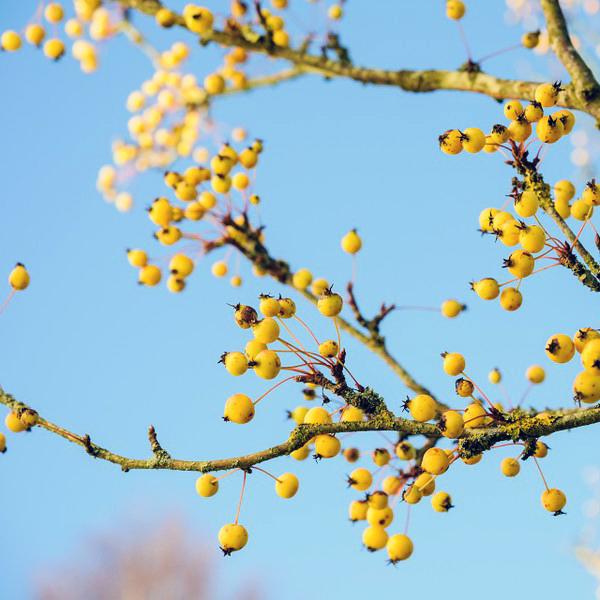 Яблоня декоративная «Wintergold» - Malus «Wintergold»
