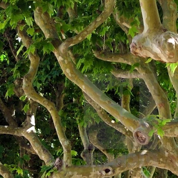 Платан кленолистный - Platanus acerifolia