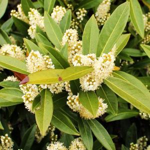 Лавровишня гибридная «Otto Luyken» - Prunus laurocerasus «Otto Luyken»