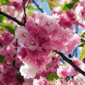 Вишня мелкопильчатая «Pink Perfection» - Prunus serrulata «Pink Perfection»