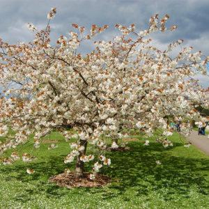 Вишня мелкопильчатая «Taihaku» - Prunus serrulata «Taihaku»