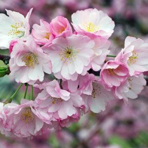 Миндаль трехлопастной - Prunus triloba