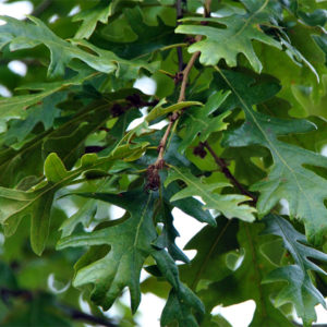 Дуб турецкий - Quercus cerris