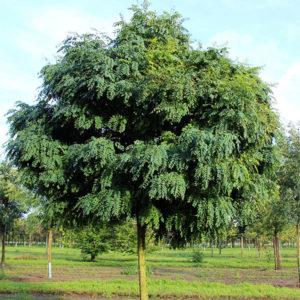 Робиния лжеакация «Umbraculifera» - Robinia pseudoacacia «Umbraculifera»