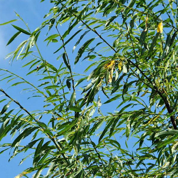 Ива остролистная «Pendulifolia» - Salix acutifolia «Pendulifolia»