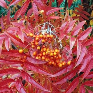 Рябина гибридная «Autumn Spire» - Sorbus «Autumn Spire»