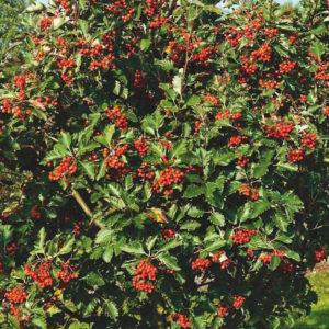 Рябина круглолистная «Magnifica» - Sorbus aria «Magnifica»