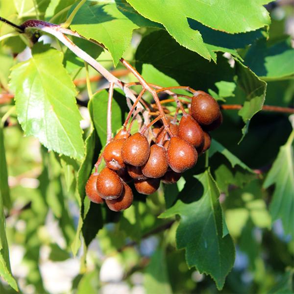 Рябина глоговина - Sorbus torminalis