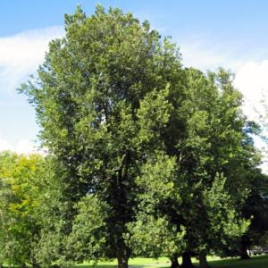 Вяз голландский «Groeneveld» - Ulmus x hollandica «Groeneveld»