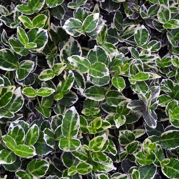 Бересклет Форчуна «Emerald Gaiety» - Euonymus fortunei «Emerald Gaiety»