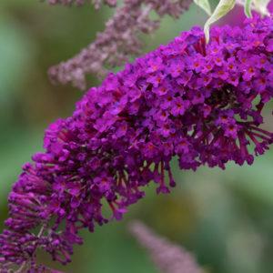 Буддлея Давида «Nanho Purple» - Buddleja davidii «Nanho Purple»