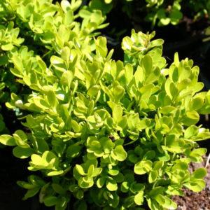 Самшит вечнозеленый «Suffruticosa» - Buxus sempervirens «Suffruticosa»