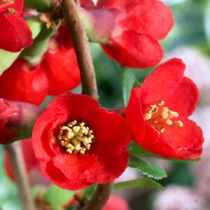 Айва великолепная «Texas Scarlet» - Chaenomeles x superba «Texas Scarlet»