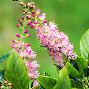 Клетра ольхолистная «Pink Spire» - Clethra alnifolia «Pink Spire»