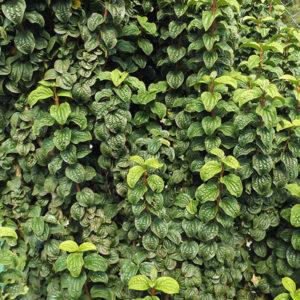 Дерен кроваво-красный «Compressa» - Cornus sanguinea «Compressa»
