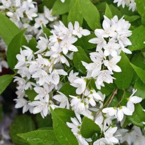 Дейция изящная - Deutzia gracilis