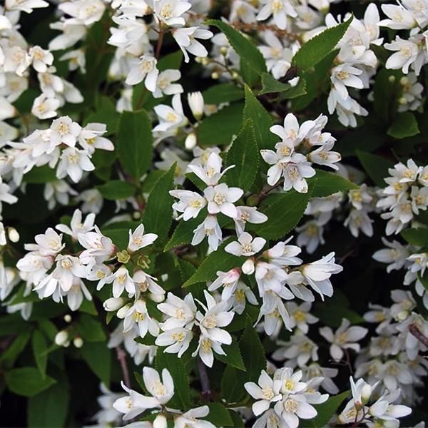 Дейция изящная «Nikko» - Deutzia gracilis «Nikko»