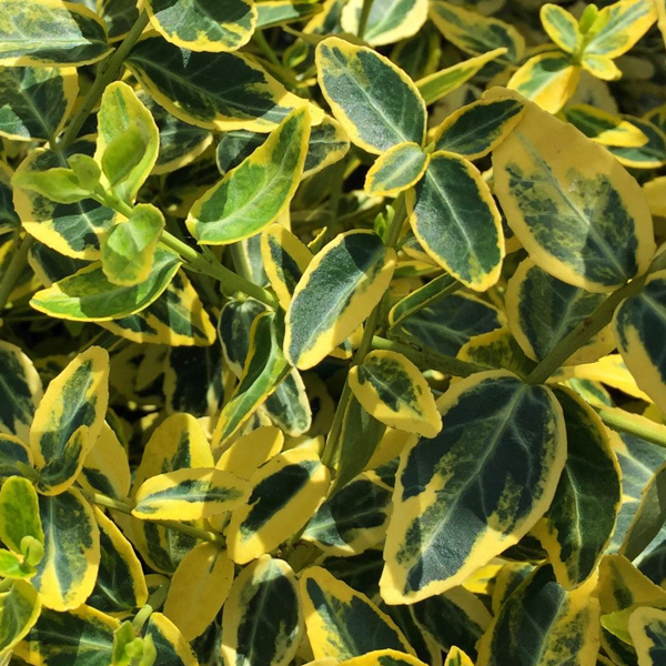 Бересклет Форчуна «Emerald gold» - Euonymus fortunei «Emerald gold»