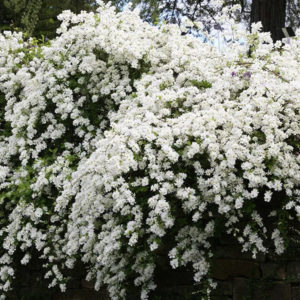 Экзохорда крупноцветковая «The Bride» - Exochorda macrantha «The Bride»