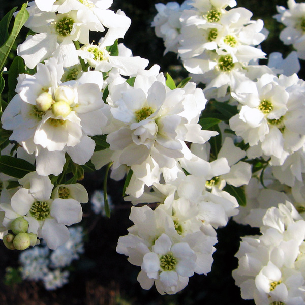 Экзохорда кистевая - Exochorda racemosa