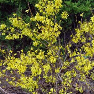 Форзиция темно-зеленая «Bronxensis» - Forsythia viridissima «Bronxensis»