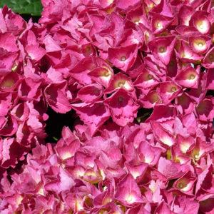 Гортензия крупнолистная «Alpengluhen» - Hydrangea macrophylla «Alpengluhen»