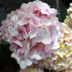 Гортензия крупнолистная «Mini Penny» - Hydrangea macrophylla «Mini Penny»