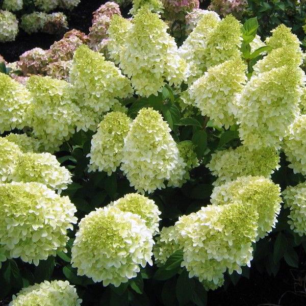 Гортензия метельчатая «Bokraflame» - Hydrangea paniculata «Bokraflame»