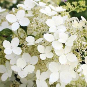 Гортензия метельчатая «Brussels Lace» - Hydrangea paniculata «Brussels Lace»