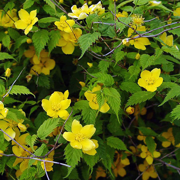 Керрия японская «Golden Guinea» - Kerria japonica «Golden Guinea»